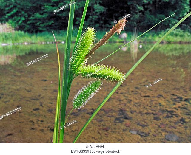 cyperus sedge (Carex pseudocyperus), fruiting, Germany, North Rhine-Westphalia
