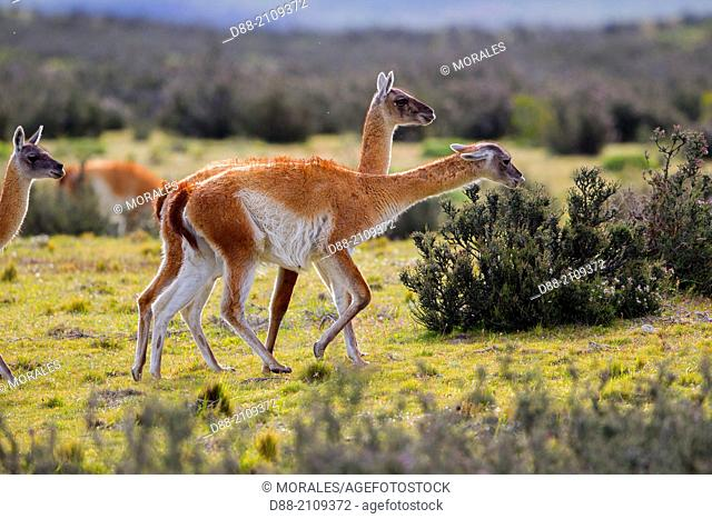 Chile, Patagonia, Magellan Region, Torres del Paine National Park, Guanaco (Lama guanicoe) , fight