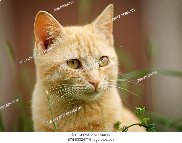 domestic cat, house cat (Felis silvestris f. catus), red striped male, Germany
