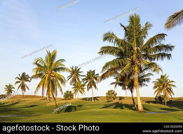 Coconut trees (Cocos nucifera) at the Varadero golf course. Varadero, Cuba