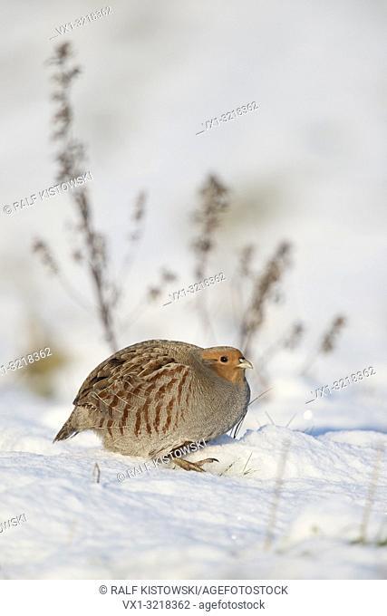 Attentive Grey partridge / Rebhuhn ( Perdix perdix ) in snow covered environment, winter.
