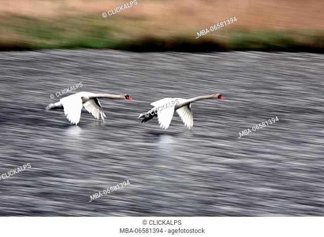 Two swans chase on the water in the Natural Reserve of Pian di Spagna, Valtellina, Lombardy, Italy Europe