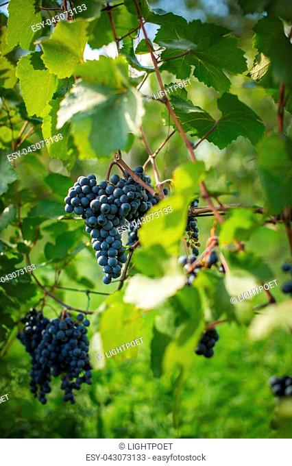 Lovely ripe, red grapes in a vineyard (color toned image)