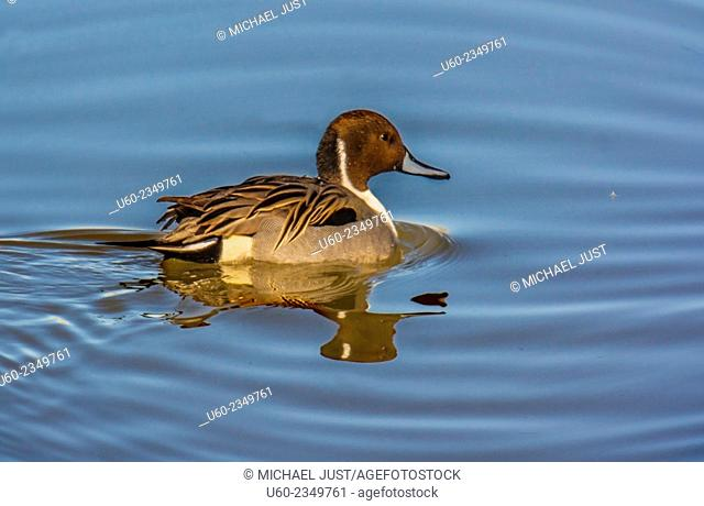The Northern Pintail duck at Bosque del Apache National Wildlife Refuge in New Mexico