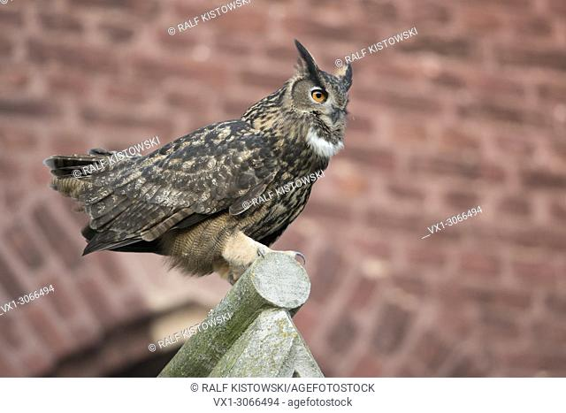 Eurasian Eagle Owl ( Bubo bubo ) adult male, courting in autumn on top of a gable of an old church, in urban surrounding, wildlife, Europe