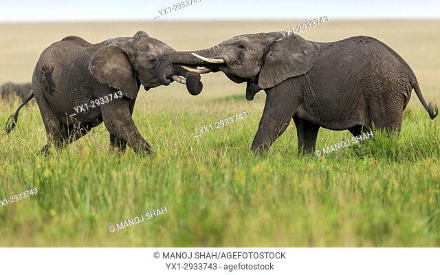 African elephants play fighting. Masai Mara National Reserve, Kenya