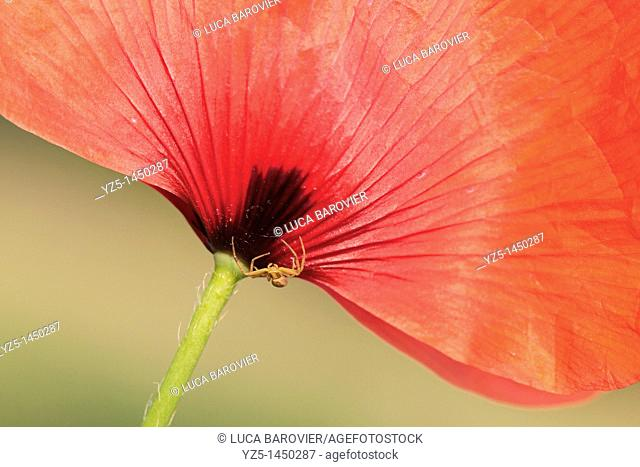 Papaver somniferum - Corn Poppy with little spider