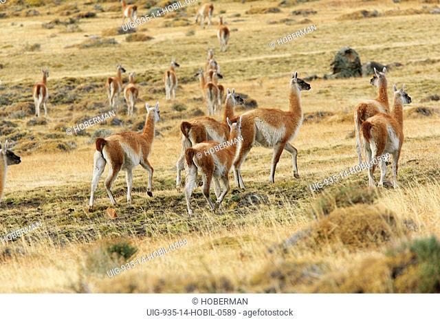 Group of Guanacos, Lama guanicoe, Chile