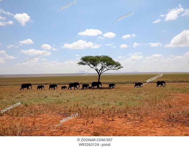 Elefantenherde in der Savanne, Tarangire Nationalpark, Tansania, Ost Afrika. Elephant herd in the Savannah, Tarangire National Park, Tansania, East Africa