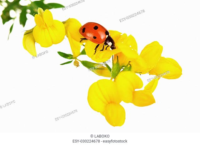 Macro, branch of linaria with ladybug isolated on white background