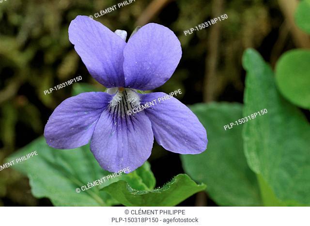 Wood violet / Common dog violet (Viola riviniana) in flower