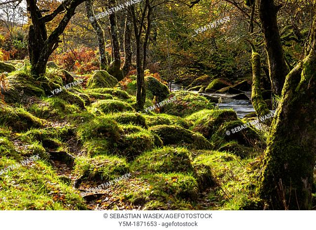 The East Dart River flowing through woodland at Dartmeet in Dartmoor National Park, Devon, England, UK, Europe