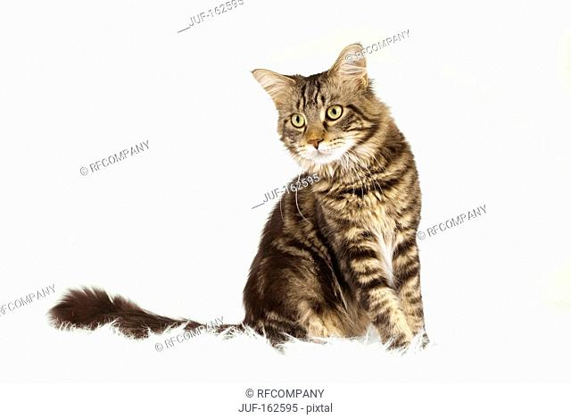 Maine Coon cat - sitting