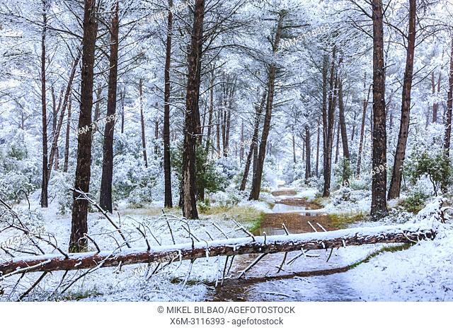 Conifer forest and snow. Ayegui. Navarre, Spain, Europe