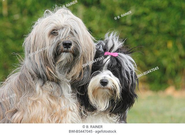 Tibetan Terrier (Canis lupus f. familiaris), two she-dogs, portrait, Germany