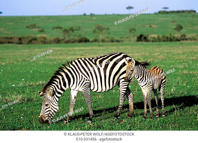 Zebra (Equus quagga boehmi) with fillies. Masai Mara. Kenya