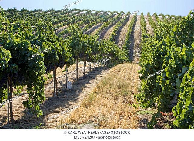 Grape vines at Clayhouse vineyard, Paso Robles, California, USA