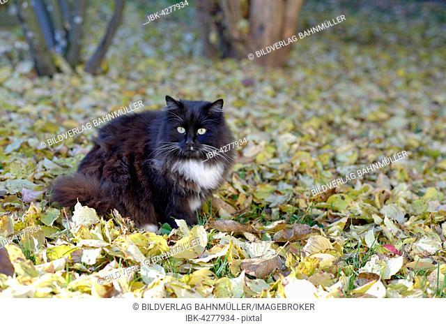 Black cat in autumn leaves, Upper Bavaria, Bavaria, Germany