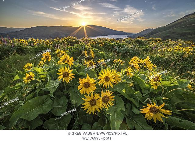 Balsamroot at The Nature Conservancy's Tom McCall Preserve overlooking the Columbia River Gorge in Oregon