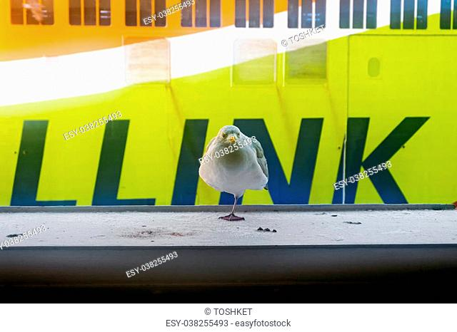 "January 6, 2016.Tallinn.Seagulls against the ferry of company """"Tallink"""". Estonia"