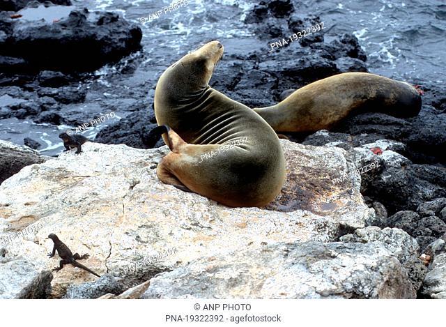 Galapagos Sea Lion Zalophus wollebaeki - Galapagos Islands, Ecuador, South America