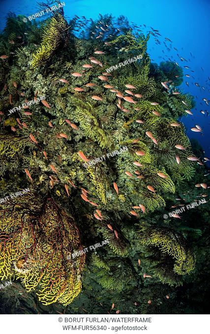 Mediterranean Anthias over Variable Gorgonian, Anthias anthias, Paramuricea clavata, Susac Island, Adriatic Sea, Croatia