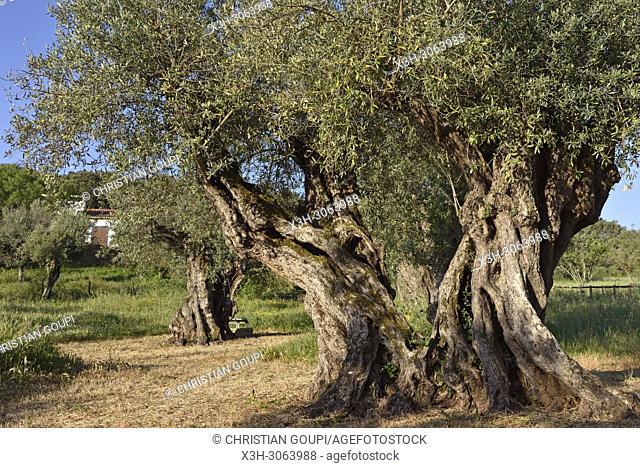 olive grove with some millennial olive trees in the gardens of the rural hotel Horta da Moura, Monsaraz, Reguengos de Monsaraz, Alentejo region, Portugal