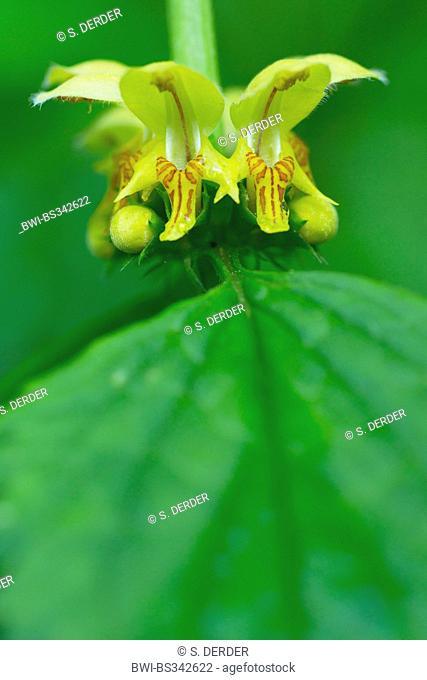 Yellow archangle (Lamium montanum, Galeobdolon montanum), flower whorl, Germany, Bavaria