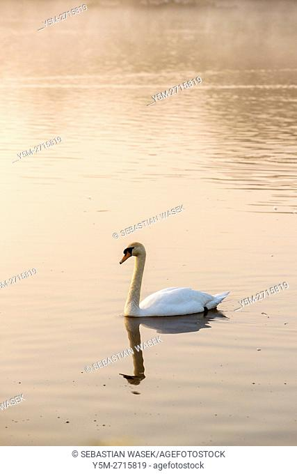 White Swan at Herriotts Mill Pool, West Harptree, Somerset, England, United Kingdom, Europe