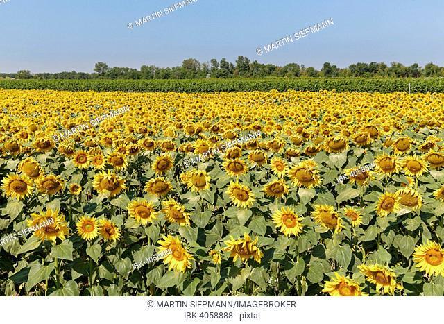 Sunflower field, Seewinkel, Northern Burgenland, Burgenland, Austria