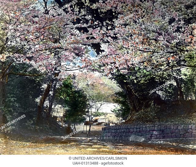 Japan, the cherry blossom season is a part of the Japanese culture, image date: circa 1920. Carl Simon Archive
