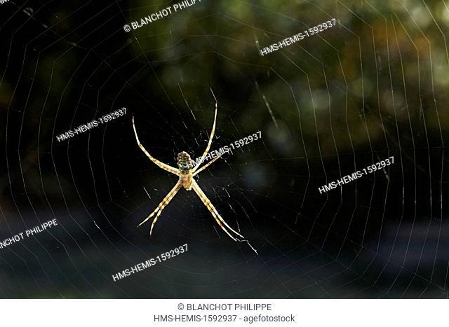 Portugal, Alentejo, Araneae, Araneidae, Lobed Argiope (Argiope lobata) on its web