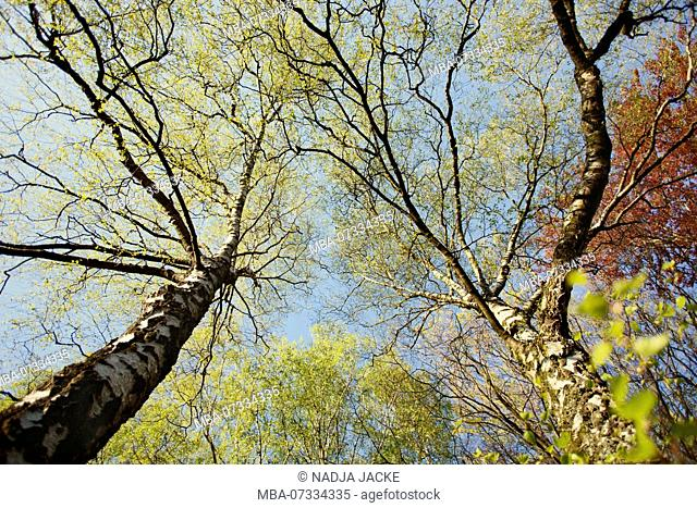 A birch with fresh green foliage in spring in the sunlight