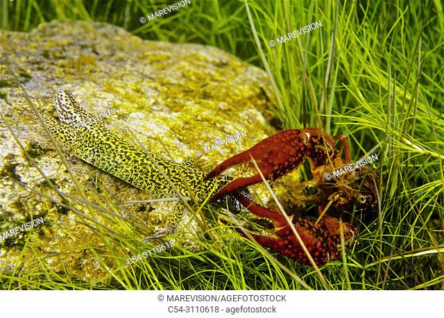 Freshwater Rivers. Red Swamp Crayfish (Procambarus clarkii) devouring Western Green Lizard (Lacerta bilineata). Rio Miño. Galicia. Spain. Europe