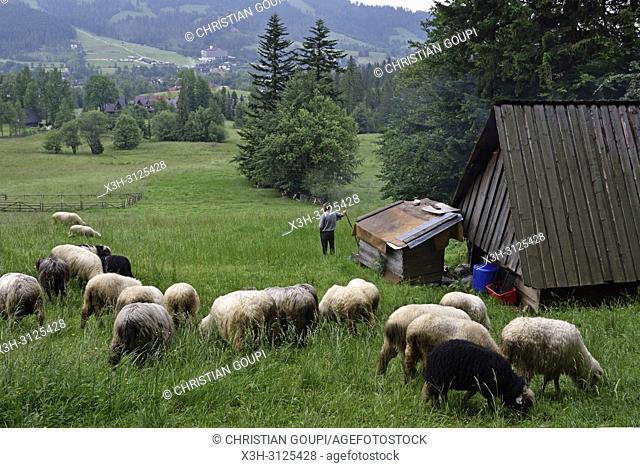 troupeau de moutons pres d'une fromagerie d'alpage dans la campagne autour de Zakopane, region Podhale, Massif des Tatras, Province Malopolska (Petite Pologne)
