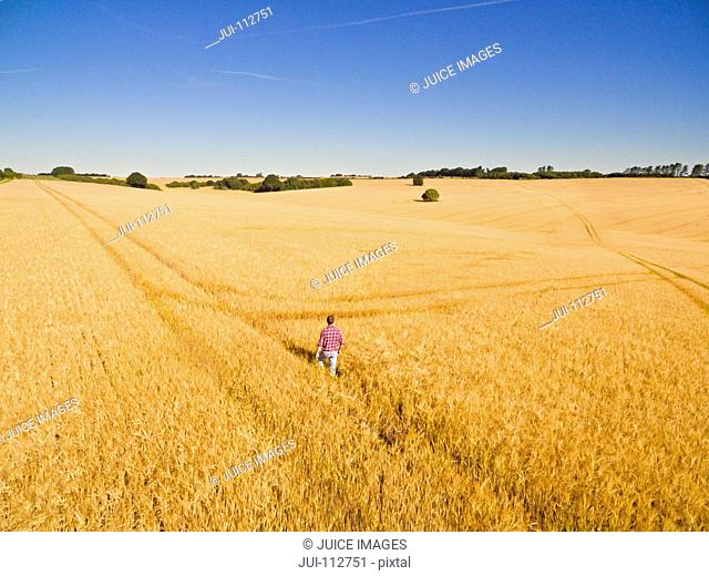 Aerial view of farmer walking in sunny golden barley field