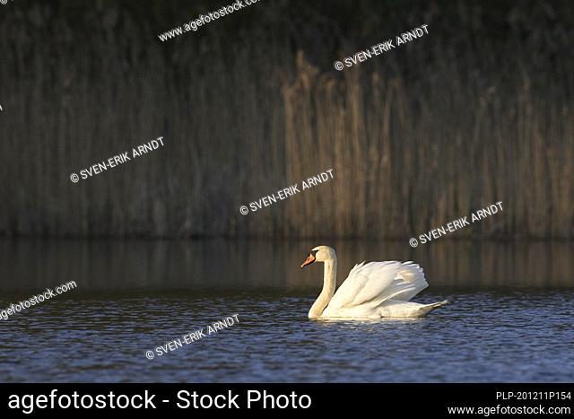 Territorial mute swan (Cygnus olor) dominant male showing aggressive posture with wings half raised, called busking, while swimming in lake in spring