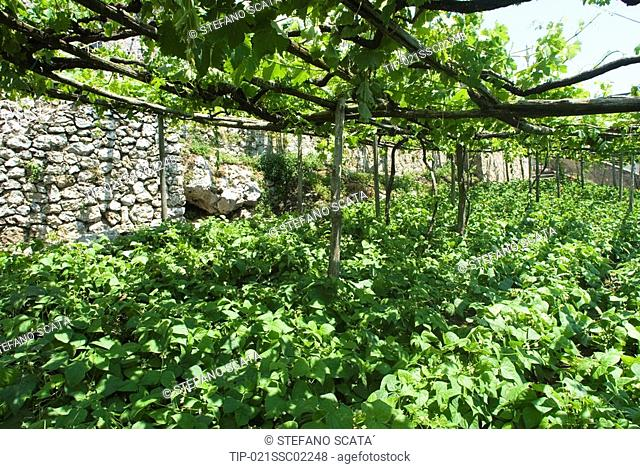 Italy, Campania, Furore,The 100 years old vineyards at Marisa Cuomo's wine estate