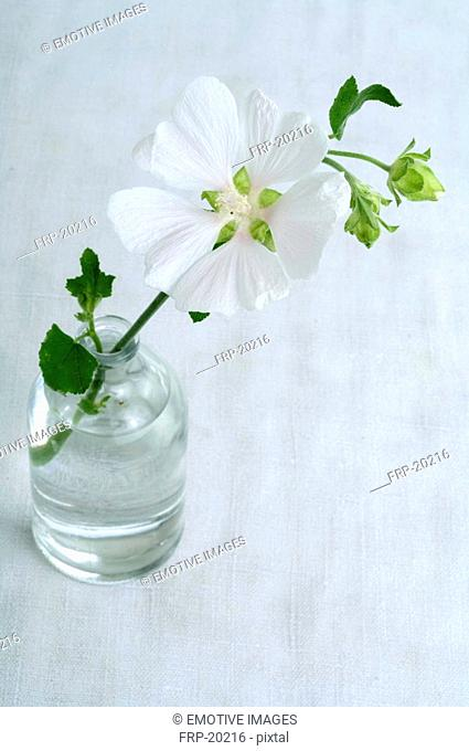 Mallow in a vase