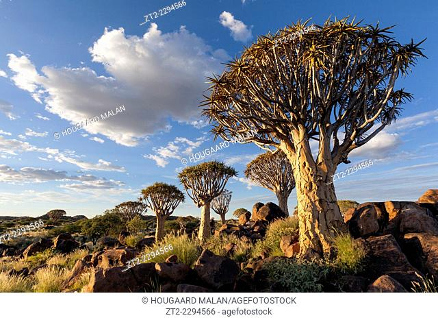 Landscape photo of a quiver tree below a cloudy summer sky. Quiver Tree Forest, Keetmanshoop, Namibia