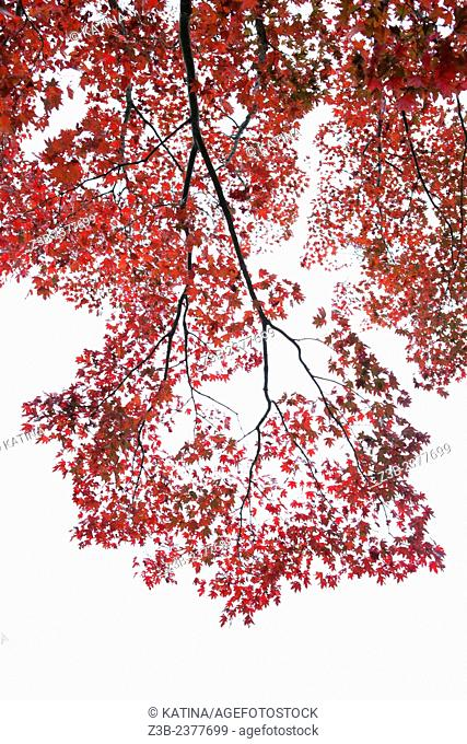 Japanese Maple tree, Acer japonicum, with red leaves, Frelinghuysen Arboretum, Morristown, New Jersey, NJ, USA