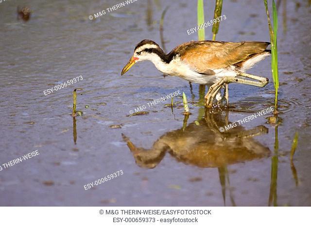 Immature Wattled Jacana , Pantanal, Mato Grosso, Brazil / Jacana jacana - Jacanidae family – Charadriiformes order
