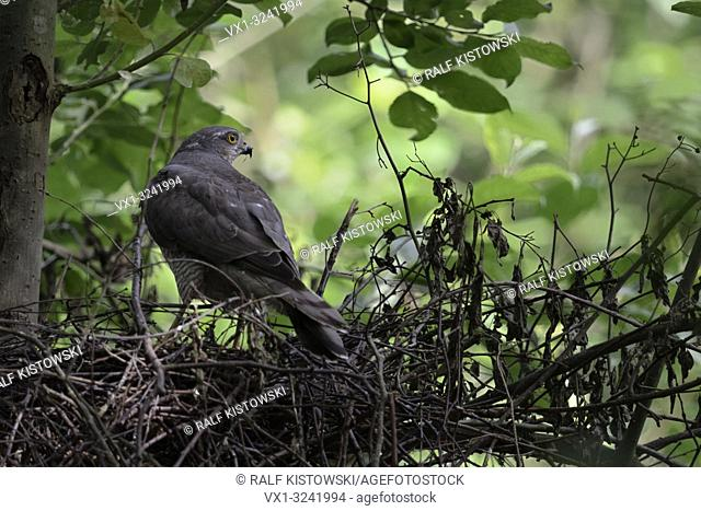 Sparrowhawk ( Accipiter nisus ), adult female, stands on the edge of its eyrie, watching around carefully, backside view