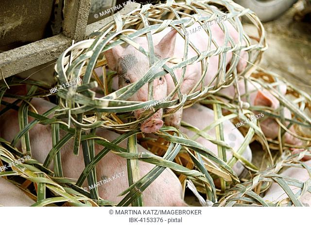 Piglets locked in baskets offered for sale on the market, Xiajiang, Guizhou Province, China