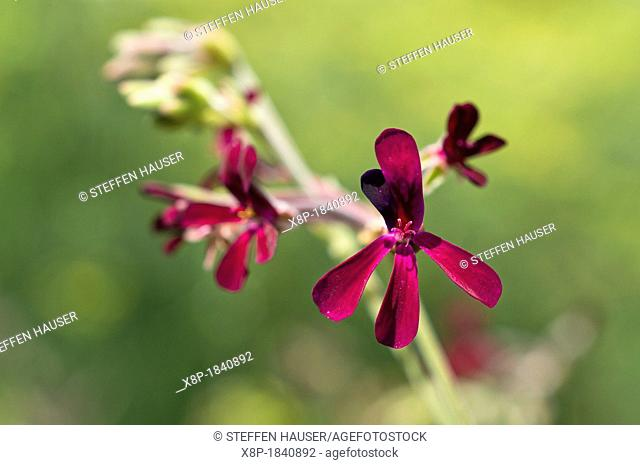 Umckaloabo Pelargonium sidoides