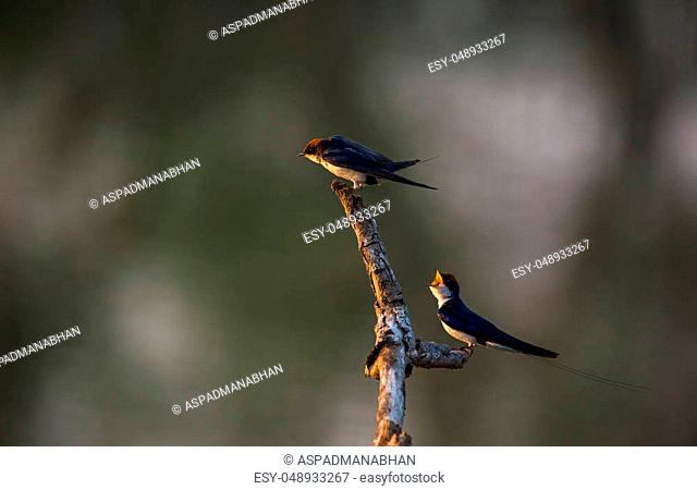 A swallow bird trying to scare off another one about to land