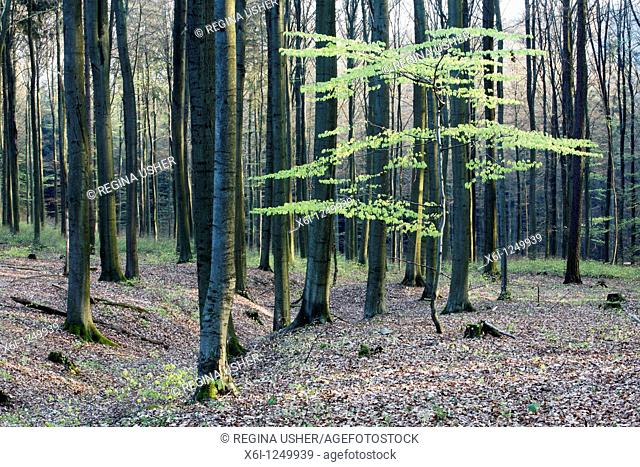 Beech tree Fagus sylvatica, woodland in spring, Germany