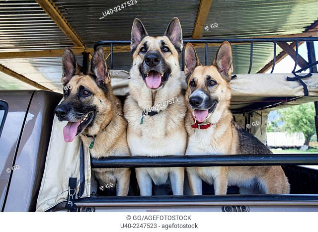 German shepherds in pick up truck