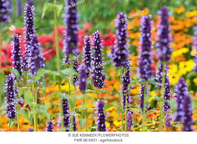 Hyssop, Anise hyssop, Agastache foeniculum, Purple coloured flowers growing outdoor with various colourful plants