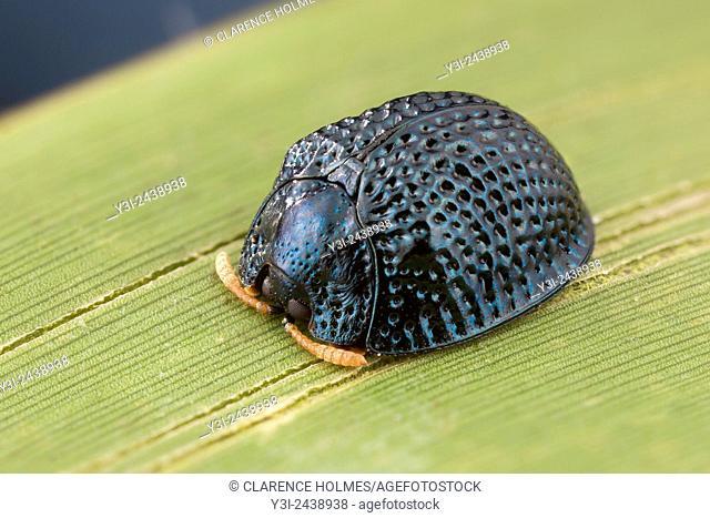 A Palmetto Tortoise Beetle (Hemisphaerota cyanea) perches on a Saw Palmetto leaf in Highlands Hammock State Park, Sebring, Florida